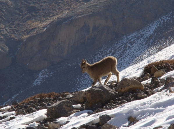Bharal occupy the rugged areas of the Himalaya_A yearling bharal sporting its skills in rock and snow_ed