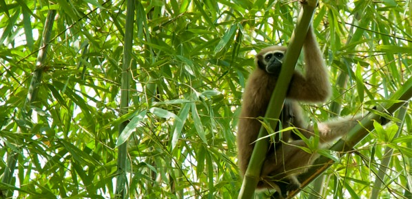 Leap of faith: the journey of the hoolock gibbon from forests to Garo villages