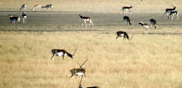 Blackbuck lekking at Velavadar, Gujarat