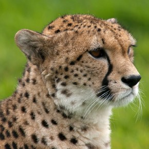 The Cheetah Reintroduction Debate