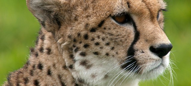 The Cheetah Reintroduction Debate