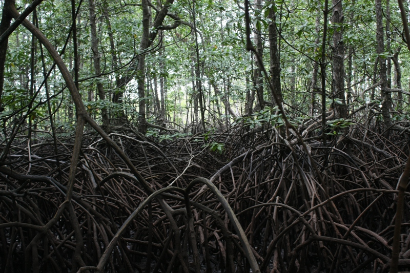 Dense Rhizophora forest with a complex network of stilt roots. Juvenile fish are believed to use these root structures to hide from predators ed