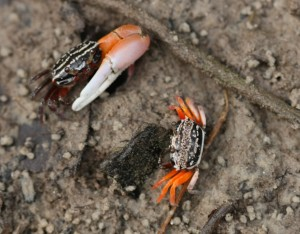 Male and female fiddler crabs ed