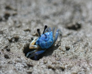 Male blue fiddler crabs (Uca sp). At least three species of fiddler crabs are known from mangroves in the islands ed