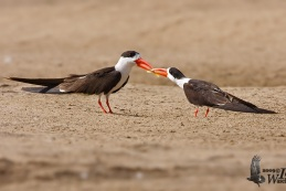 Indian Skimmer 1_ed
