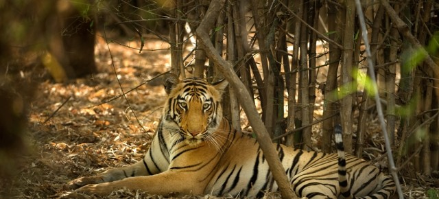 Claim of human and tiger 'coexistence' lacks perspective